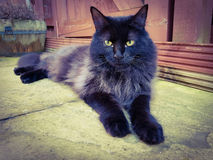 Maine coon black smoke. Cat laying in garden with bright Amber eyes Stock Images