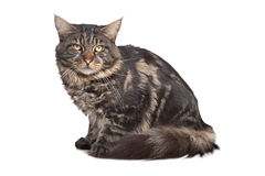 Maine coon, black tabby cat Royalty Free Stock Image