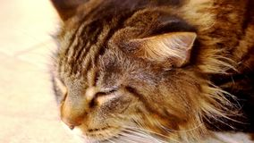 Maine Coon black tabby cat with green eye lying on stock footage
