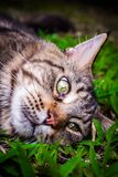 Maine Coon black tabby cat with green eye lying on. Grass stock photos