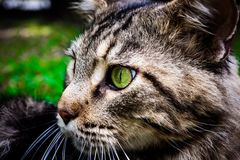 Maine Coon black tabby cat with green eye lying on. Grass royalty free stock image