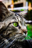 Maine Coon black tabby cat with green eye lying on. Grass royalty free stock photography