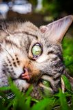 Maine Coon black tabby cat with green eye lying on. Grass stock photo