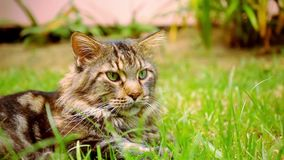 Maine Coon black tabby cat with green eye lying on stock video footage