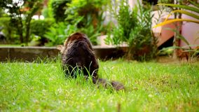 Maine Coon black tabby cat with green eye sat down. And chews the grass. Macro video shift motion 1920*1080 stock video