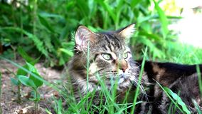 Maine Coon black tabby cat with green eyelying. Down and smelling the grass. Macro video shift motion 1920*1080 stock video