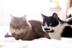 Maine coon and black and white cat with moustache relaxing with funny faces on comfortable bed. Two cute cats sitting with toy. Mouse on white bed in sunny stock photo