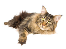 Maine Coon brown tabby on white background Royalty Free Stock Image