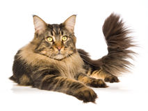 Maine Coon brown tabby on white background Stock Photos