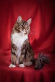 Maine Coon on burgundy background. Beautiful Maine Coon on burgundy background stock images