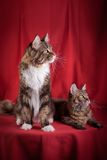 Maine Coon on burgundy background. Beautiful Maine Coon on burgundy background royalty free stock photo