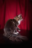 Maine Coon on burgundy background. Beautiful Maine Coon on burgundy background royalty free stock photography