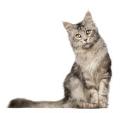 Maine Coon cat, 1 year old, sitting Stock Image