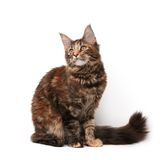 Maine-coon cat stock photo