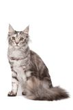 Maine-coon cat royalty free stock photos