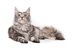 Maine-coon cat Stock Photos