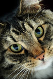 Maine Coon Cat Stock Photography