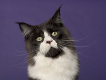 Maine Coon cat, 15 months old Stock Image