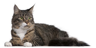 Maine Coon cat, 2 years old Stock Photography