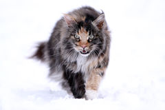 Maine Coon cat. Walking in snow field Royalty Free Stock Images