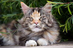 Maine coon cat. Lie on terrace under green bush Royalty Free Stock Photography