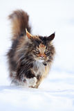 Maine Coon cat. In snow field Royalty Free Stock Photos