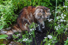 Maine Coon Cat Royaltyfri Fotografi
