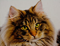 Maine Coon Cat. Tiger like beautiful serious cat with a serious look Stock Photos