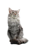 Maine coon cat. Isolated on white background Royalty Free Stock Photos
