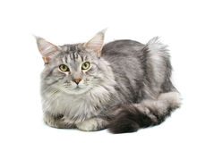Maine coon cat. Isolated on white background Royalty Free Stock Photo