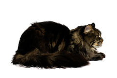 Maine coon cat. Isolated on white background Royalty Free Stock Photography