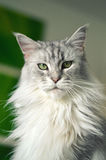 Maine Coon Cat Photographie stock