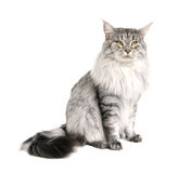 Maine coon cat Royalty Free Stock Photos