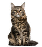 Maine Coon cat, 6 months old, sitting Stock Photo