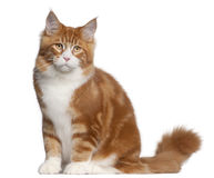 Maine Coon cat, 6 months old, sitting Stock Images