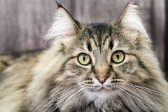 Maine Coon Cat Stockfotos