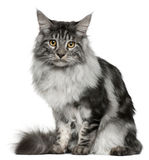 Maine Coon cat, 7 months old, sitting Stock Photos