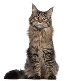 Maine Coon cat, 7 months old, sitting royalty free stock photography