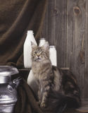 Maine Coon Cat Photos libres de droits