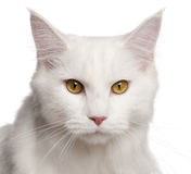 Maine Coon cat, 8 months old, sitting Stock Photos