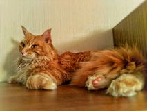 Maine Coon Cat lizenzfreie stockfotografie