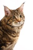 Maine-coon cat Stock Photography