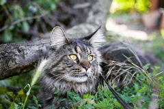 Maine Coon Cat lizenzfreies stockbild
