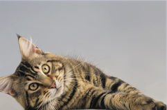 Maine Coon cat adult Stock Photos