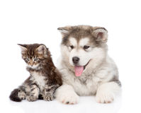 Maine coon cat  and alaskan malamute dog lying together. isolated on white. Background Stock Images