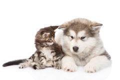 Maine coon cat  and alaskan malamute dog together.  on w. Hite background Stock Images