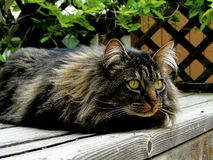 Maine Coon Cat on the Alert Stock Image