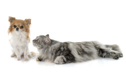 Maine coon cat andchihuahua Stock Photos