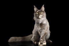 Maine Coon Cat auf schwarzem Hintergrund lizenzfreies stockfoto