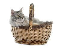 Maine coon cat and basket Royalty Free Stock Photography